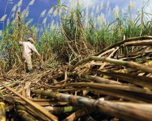 All about Sugarcane – Spotlight on the Sweetest Industry in Guyana